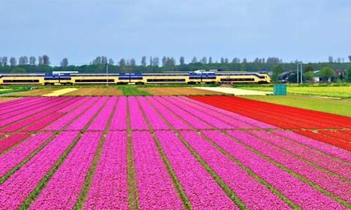 tulipani_nizozemska